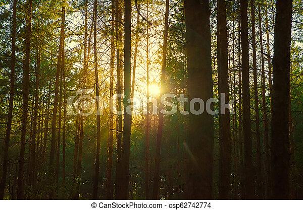 pine forest - csp62742774