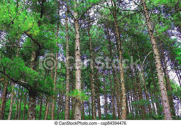 pine forest - csp84394476