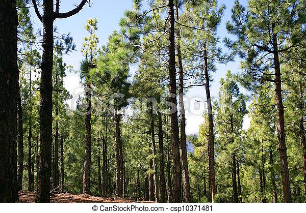 Pine forest - csp10371481
