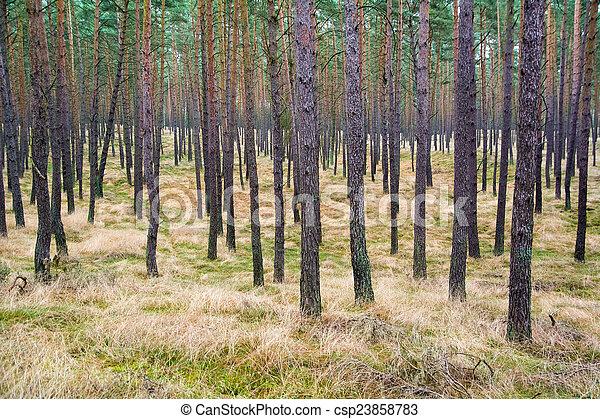Pine forest - csp23858783