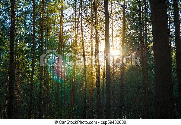pine forest - csp59482680