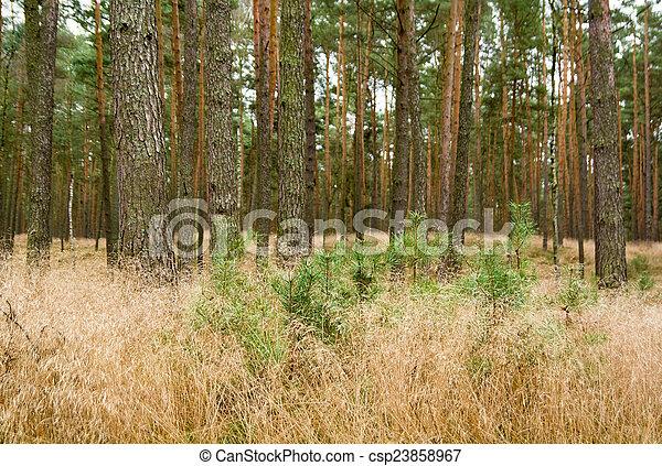 Pine forest - csp23858967