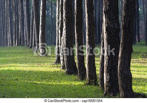 Pine forest - csp16581054