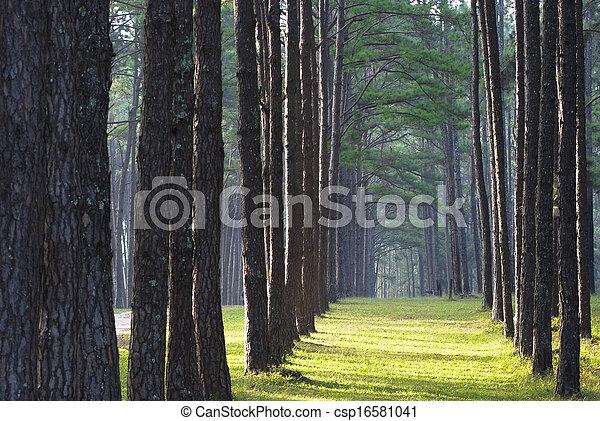 Pine forest - csp16581041
