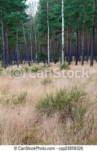 Pine forest - csp23858326