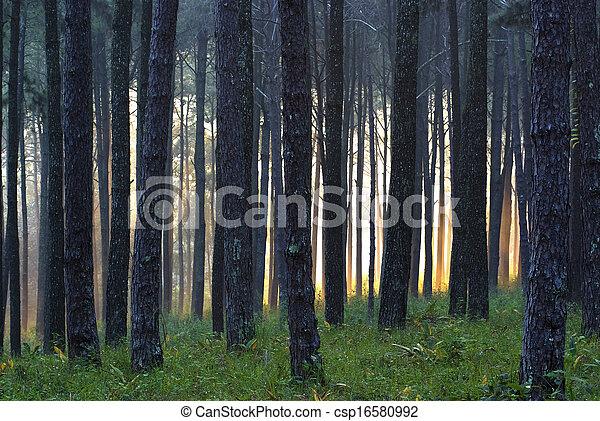 Pine forest - csp16580992