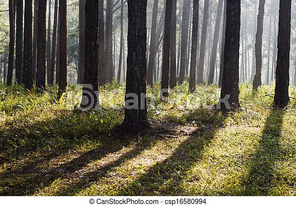 Pine forest - csp16580994