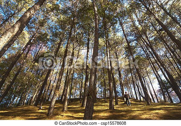 Pine forest - csp15578608