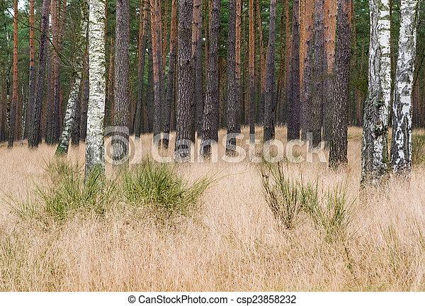 Pine forest - csp23858232