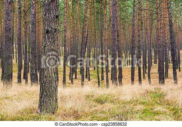 Pine forest - csp23858632