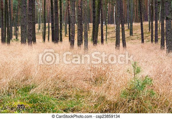 Pine forest - csp23859134