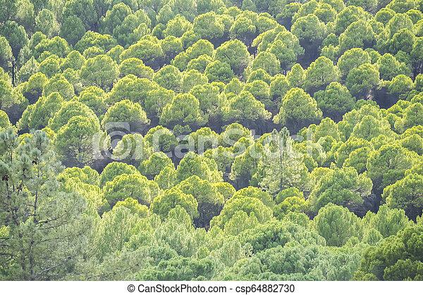 Pine forest - csp64882730