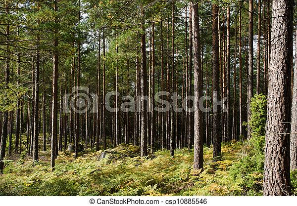 Pine forest with rocks, moss and golden bracken - csp10885546