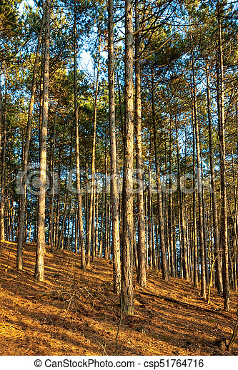 Pine forest with sunset light - csp51764716