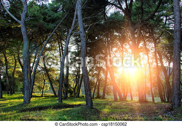 pine forest with sunset - csp18150062