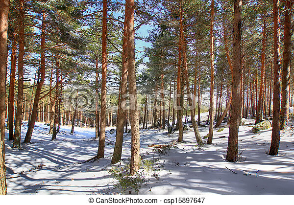 pine forests in the mountains with lots of snow - csp15897647