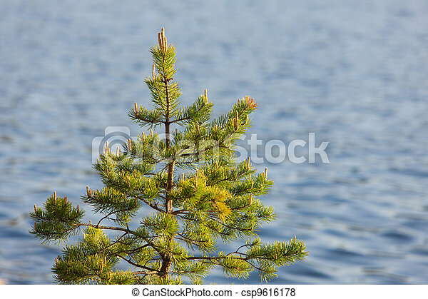 pine in the spring - csp9616178