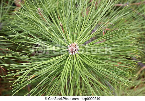 Pine needles - csp0000349