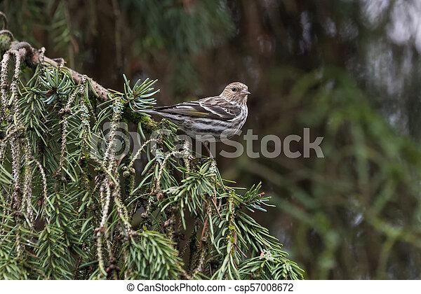 pine siskin bird - csp57008672