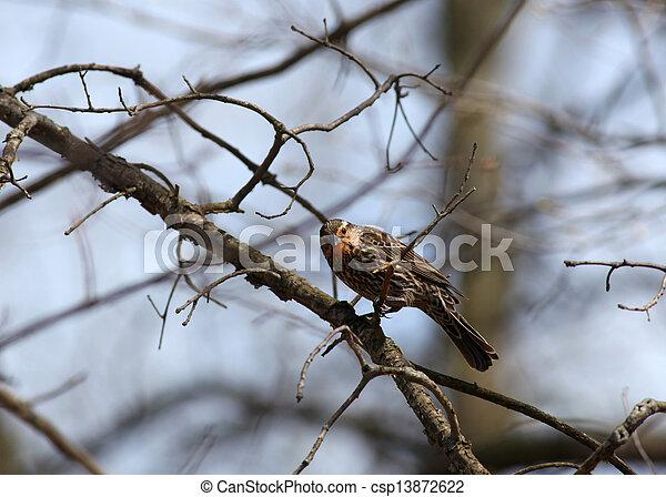 Pine Siskin bird - csp13872622