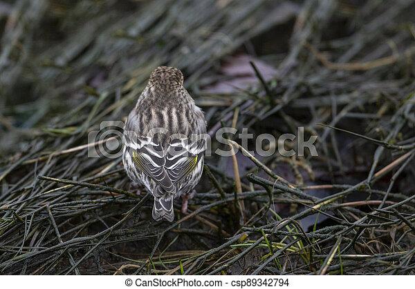 Pine siskin bird - csp89342794