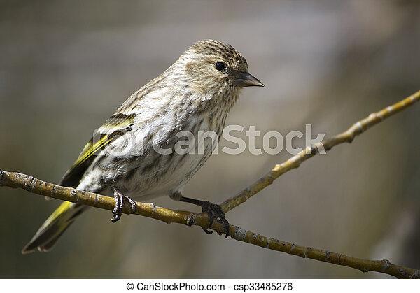 Pine Siskin on a Branch - csp33485276