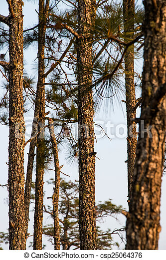 Pine tree in the nature - csp25064376