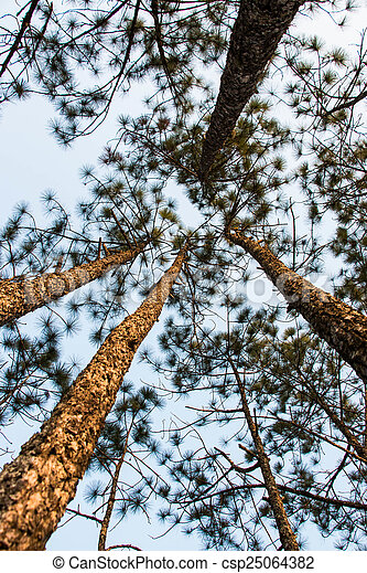 Pine tree in the nature - csp25064382
