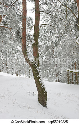 Pine tree in winter forest - csp55210225