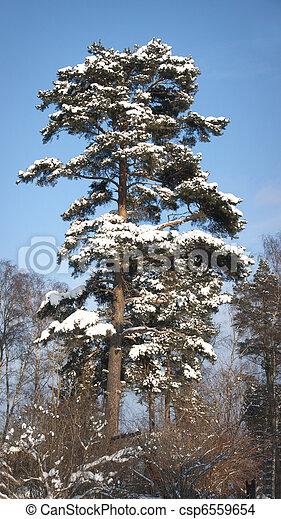 Pine tree in winter - csp6559654