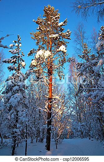 Pine tree in winter - csp12006595