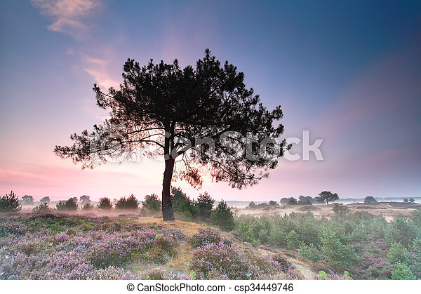 pine tree on hill with flowering heather at sunrise - csp34449746