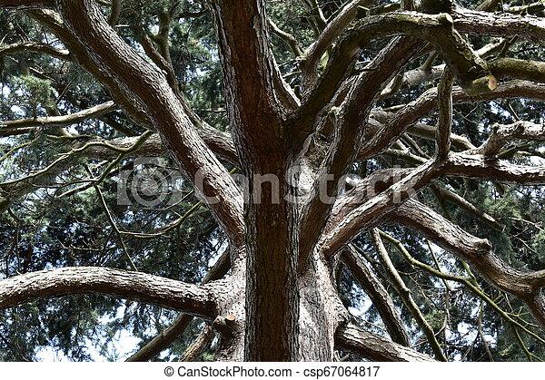 Pine tree silhouette - csp67064817