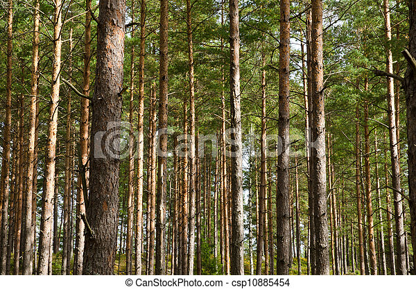 Pine tree trunks - csp10885454