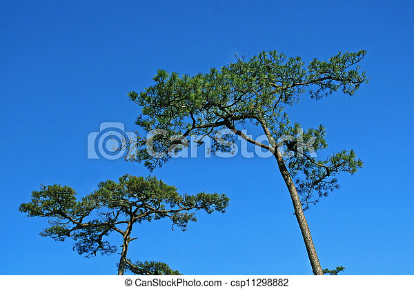 Pine  tree with blue sky - csp11298882