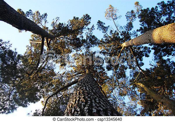 Pine trees bottom view - csp13345640