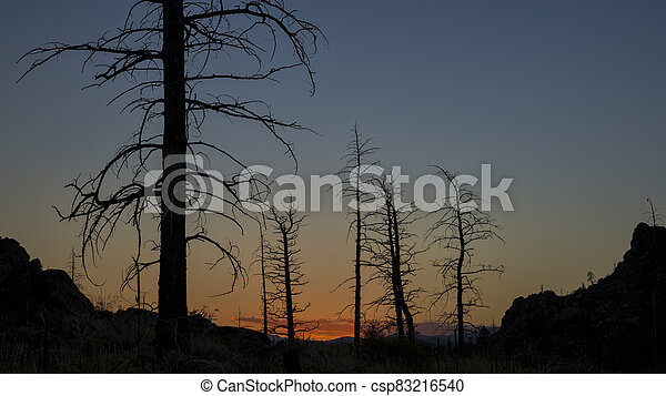 Pine trees burned by wildfire - csp83216540