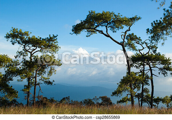 Pine trees in a meadow - csp28655869