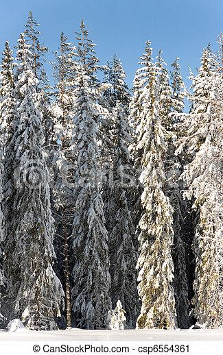 Pine trees in snow - csp6554361