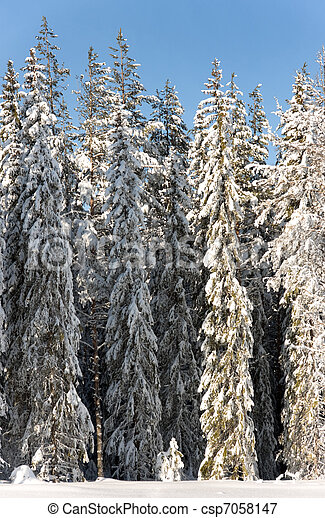 Pine trees in snow - csp7058147