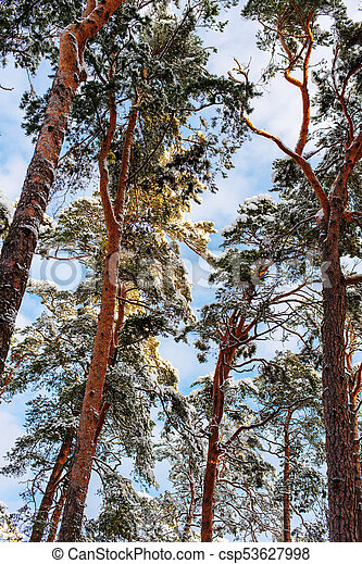 Pine trees in the forest - csp53627998