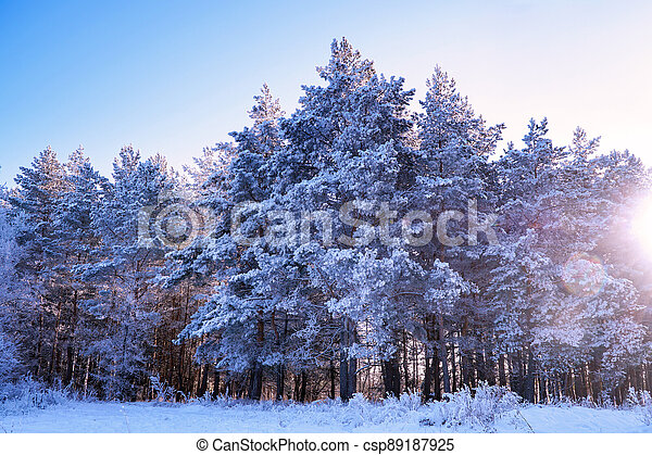 Pine trees in the snow on a frosty winter day - csp89187925