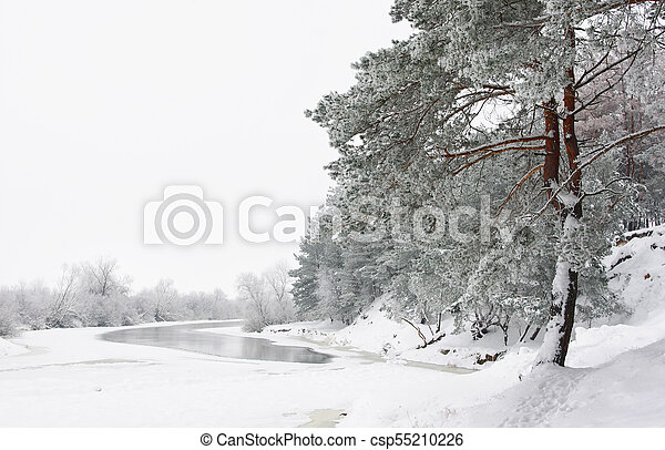 Pine trees in winter forest covered with frost - csp55210226