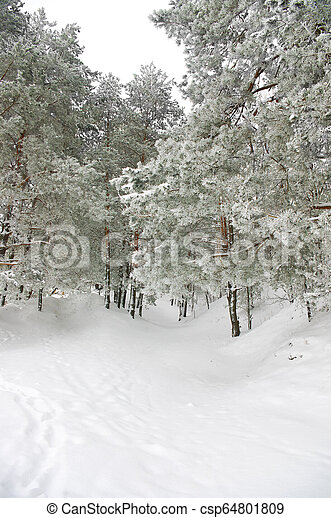 Pine trees in winter forest covered with frost - csp64801809