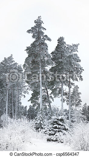 Pine trees in winter - csp6564347