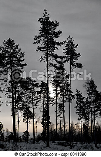 Pine trees in winter - csp10041390