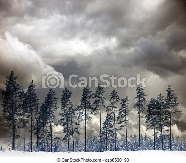 Pine trees in winter - csp6530190