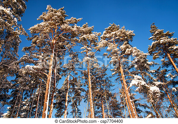 Pine trees in winter - csp7704400