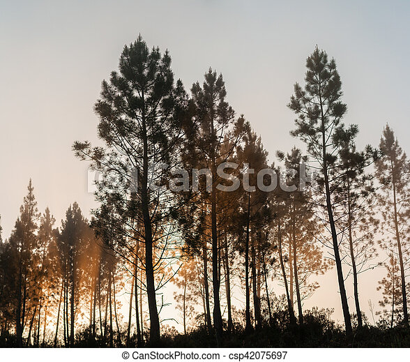 Pine trees silhouettes - csp42075697