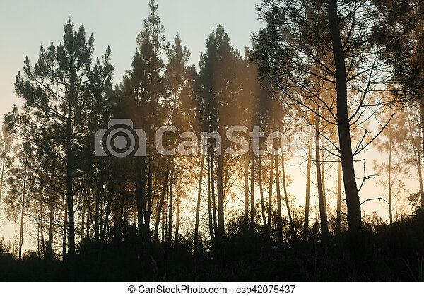 Pine trees silhouettes - csp42075437